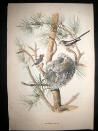 Bettoni & Oscar Dressler 1865 Folio Bird Print. Long tailed Tit & Nest